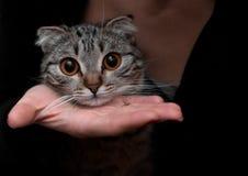 Race écossaise de chat Observe le plan rapproché photos stock