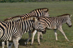 The Race. Zebra photographed at Garden Route Game Lodge South Africa Stock Images