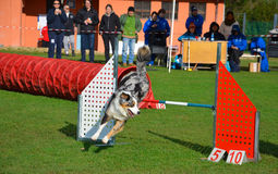 Race of agility dog Stock Photos