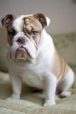 Race anglaise de chien de bouledogue Photographie stock libre de droits