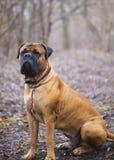 Race anglaise de chien de mastiff Photo libre de droits