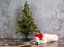 Race blanche Dogo Argentino, mensonges de chien sous l'arbre de Noël Photographie stock