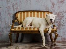 Race blanche Dogo Argentino, mensonges de chien sur un beau divan antique Photos libres de droits
