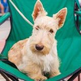 Race blonde comme les blés sérieuse mignonne de Terrier d'écossais de chien photo stock