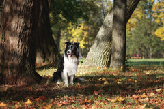Race border collie de chien Images libres de droits