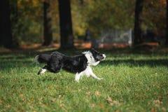 Race border collie de chien Photo libre de droits