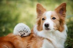 Race border collie de chien jouant avec un hérisson photographie stock