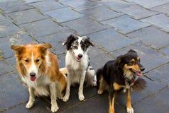 Race border collie de chien se reposant sur le trottoir Photographie stock