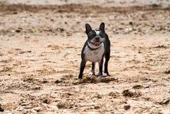 Race Boston Terrier de chien Photographie stock