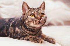 Race britannique de chat de cheveux courts avec des yeux de miel photo stock