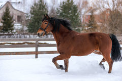 Race Brown Beautiful Horse In Winter Royalty Free Stock Image