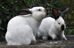 Race californienne des lapins Image stock