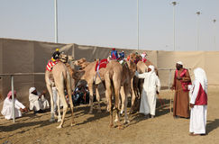 Race camels in Doha Qatar Stock Photo