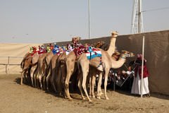 Race camels, Doha Qatar Stock Images