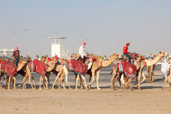 Race camels in Doha, Qatar Stock Photos