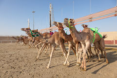Race camels in Doha, Qatar Royalty Free Stock Images