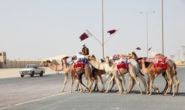 Race Camels in Qatar Royalty Free Stock Images