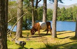 Race ceinturée de vache à Galloway des bétail Images libres de droits