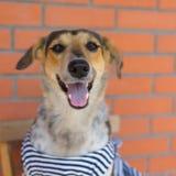 Race croisée de chien de chasse portant le gilet barré se reposant dans une vieille chaise contre le mur de briques images stock