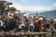 Race de brun de vaches Photographie stock libre de droits
