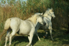 Race de Camargue de chevaux Images stock