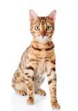 Race de Cat Bengal. D'isolement photos libres de droits