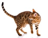 Race de Cat Bengal sur un fond blanc images libres de droits