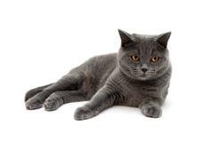 Race de chat écossais-droite sur un fond blanc Images libres de droits