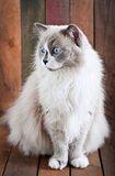 Race de chat de Ragdoll Images libres de droits