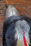 Race de cheval avec la queue décorée Photographie stock libre de droits