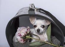 Race de chien de chiwawa dans une cabine et avec une pivoine photographie stock