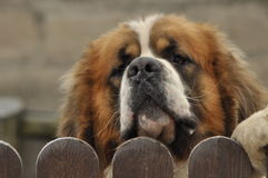 Race de chien de Bernardyn Chien regardant par derrière la barrière Photos stock
