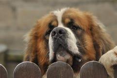 Race de chien de Bernardyn Chien regardant par derrière la barrière défenseur Photo stock