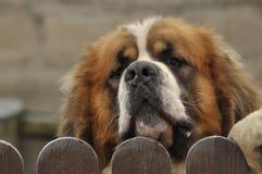 Race de chien de Bernardyn Chien regardant par derrière la barrière défenseur Photographie stock libre de droits