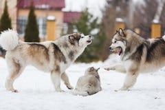 Race de chien de famille des malamutes Image libre de droits