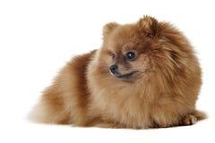 Race de chien de Pomeranian Photographie stock