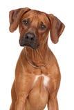 Race de chien de Rhodesian Ridgeback Photos libres de droits