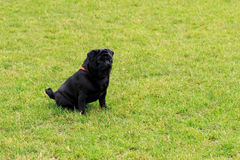 Race de chien de roquet Photos stock