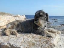 Race de chien de Schnauzer sur une pierre sur un fond de la mer Images libres de droits