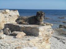 Race de chien de Schnauzer sur une pierre sur un fond de la mer Image stock