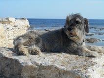 Race de chien de Schnauzer sur une pierre sur un fond de la mer Images stock