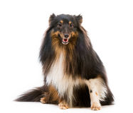 Race de chien de Sheltie Photographie stock libre de droits