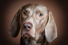 Race de chien de Weimaraner photo libre de droits