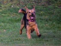 Race de croix de Yorkshire Terrier Photos stock