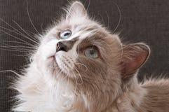Race de Ragdoll de visage de chat Photographie stock libre de droits
