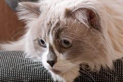 Race de Ragdoll de visage de chat Photographie stock