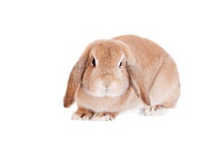 Race de Ram de lapin, couleur rouge Images stock