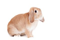 Race de Ram de lapin, couleur rouge Images libres de droits
