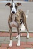 Race de whippet de chien domestique Photos libres de droits