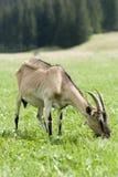 Race des chèvres Photo stock